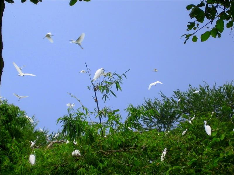 Flock of storks in Bang Lang Sanctuary