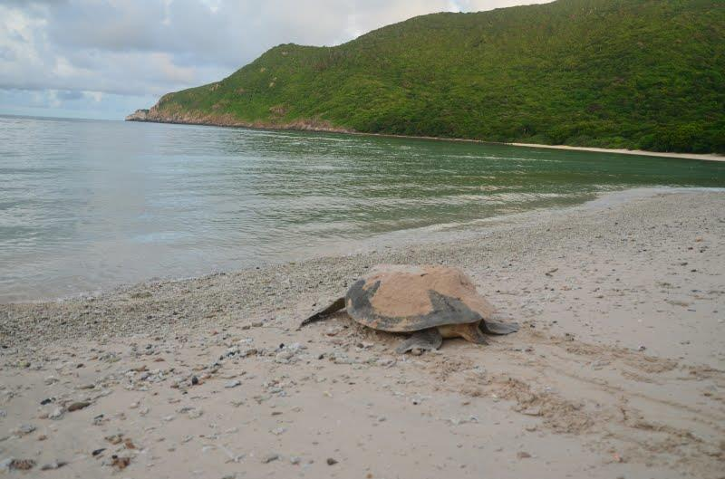 Turtles lay their eggs on Bay Canh Island