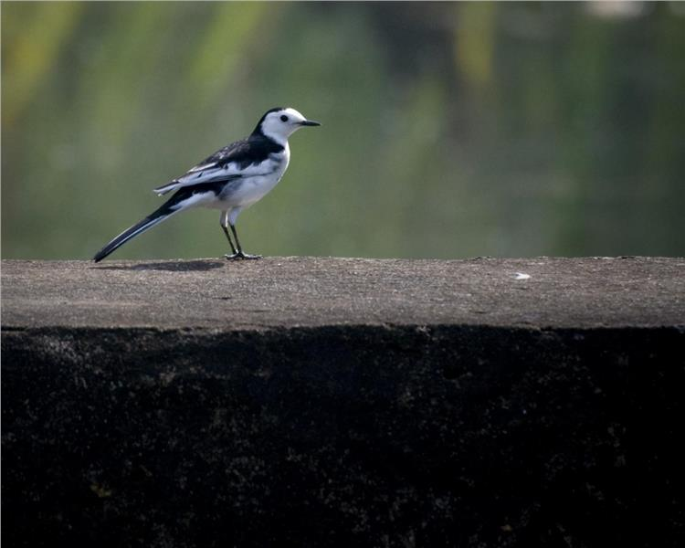 White Wagtail in Cuc Phuong National Park