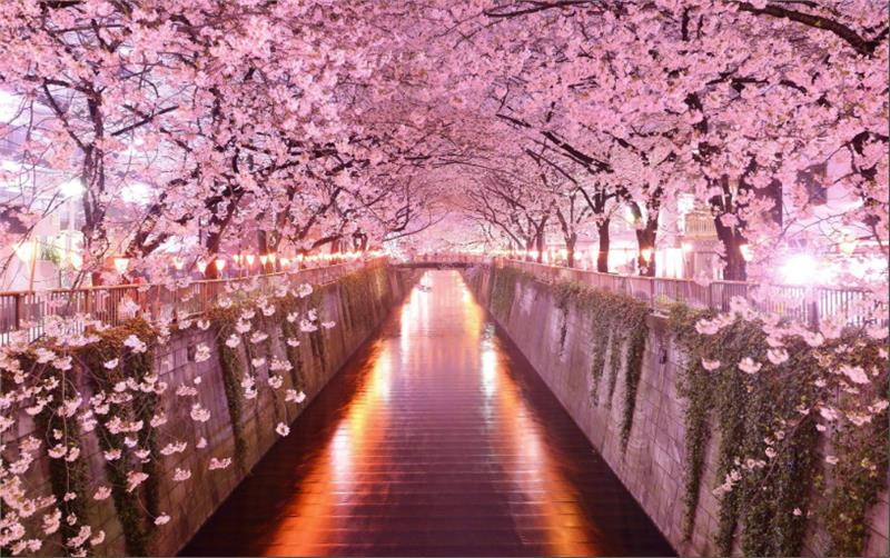 Japan canceled Cherry Blossom Festival due to Covid-19